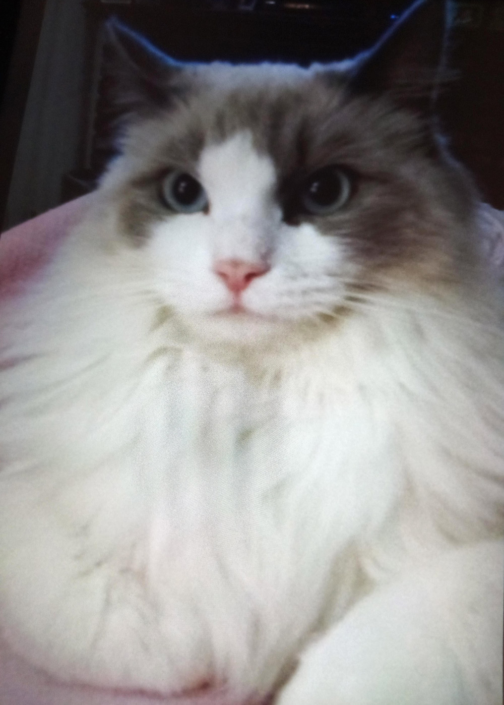 Meet Nancy L.'s Polly, in Simi Valley, CA. Polly's a five-year-old Ragdoll, and a beautiful, wonderful kitty.