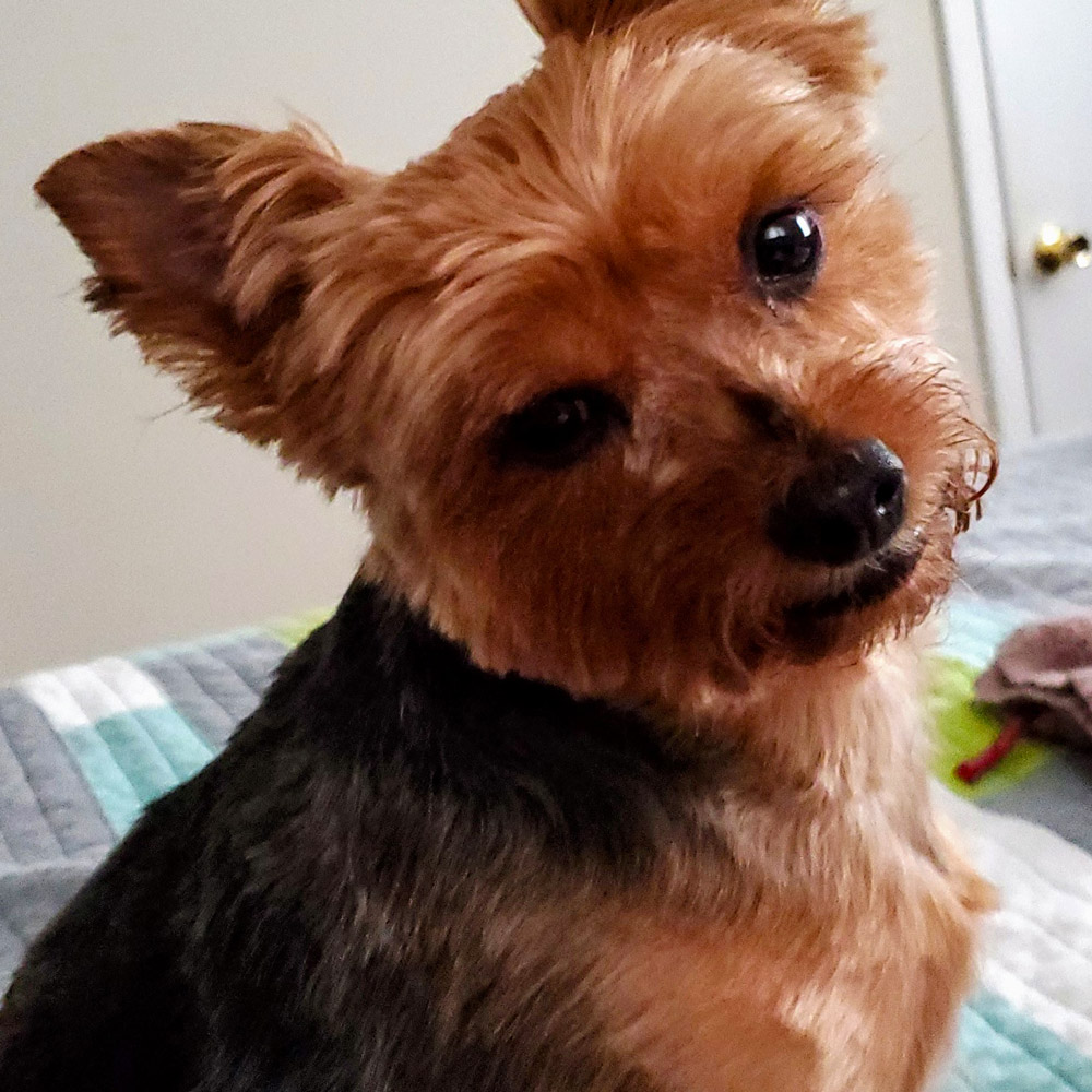Meet Brooklyn; she's Krystal R's five-year-old Yorkshire Terrier, looking super cute, at the camera!