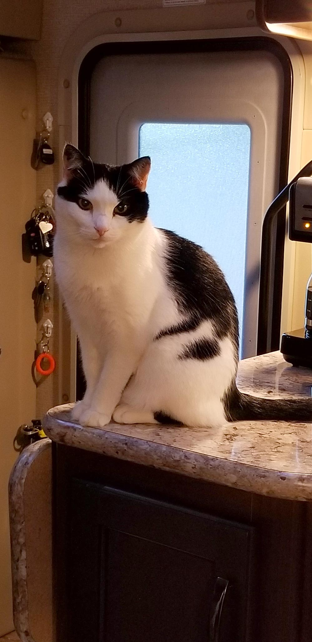 Meet Jay II, Epping, NH's Roger and Nancy's 13-year-old black and white cat who is curious about everything. When they started camping in their RV, they didn't hesitate to bring him along.