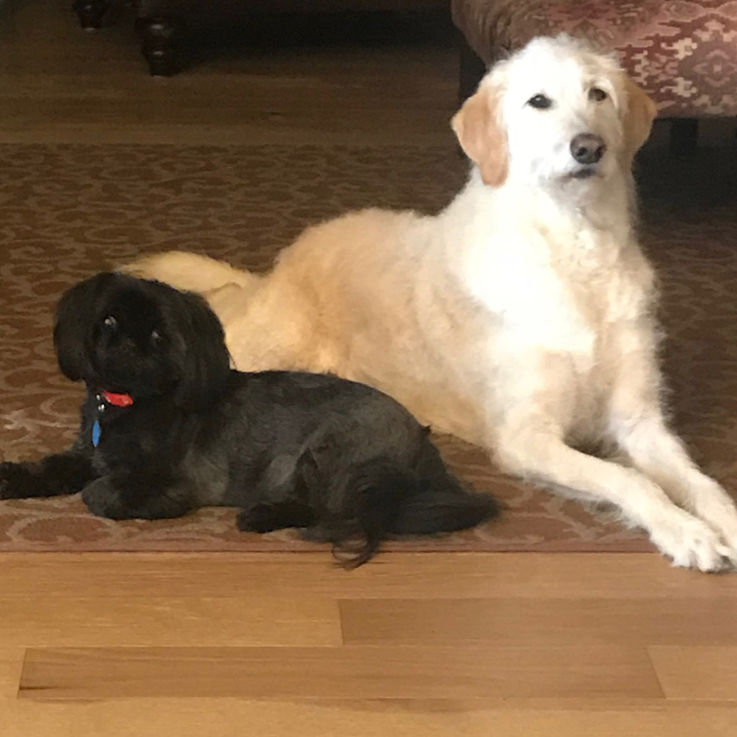 Patricia H. sent two pictures of her Charlie, a Shih Tzu, and Scout, a wire-haired Labradoodle, who sheds like crazy! They remind us of the yin and yang of a new year: Opposite but complementary, out with the old, in with the new. Big changes!