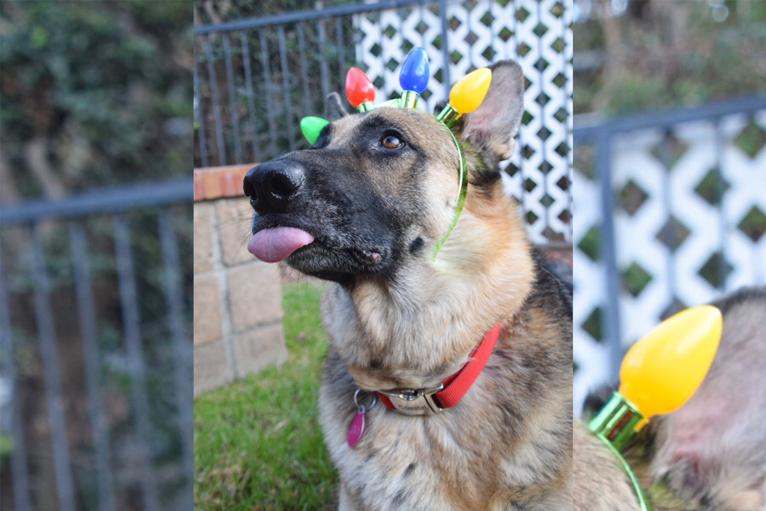 Doris H. sent a picture of her adorable six-year-old German Shepherd Ziva, wearing a headband of festive Christmas lights, while being silly with her tongue sticking out!