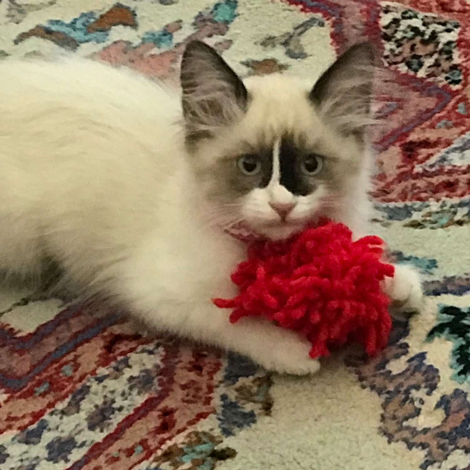 "Trina S. shared a picture of her kitten ""Smudgie"", adopted from Animal Care Services in Long Beach, California. Smudgie loves her red yarn toy."