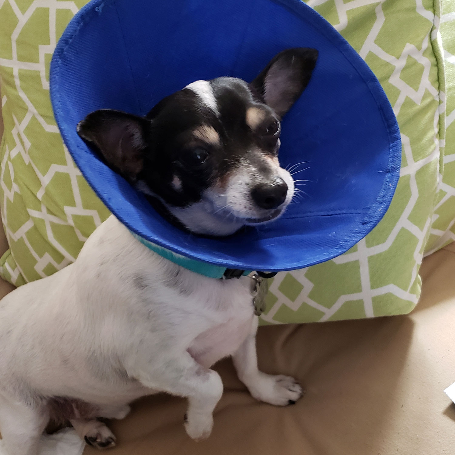 "Duncan, a Pet Pal alum, is back after having his teeth professionally cleaned. He's wearing the ""Cone of Shame"" so he won't scratch his mouth. Pro cleanings are important to keep the mouth and teeth healthy."