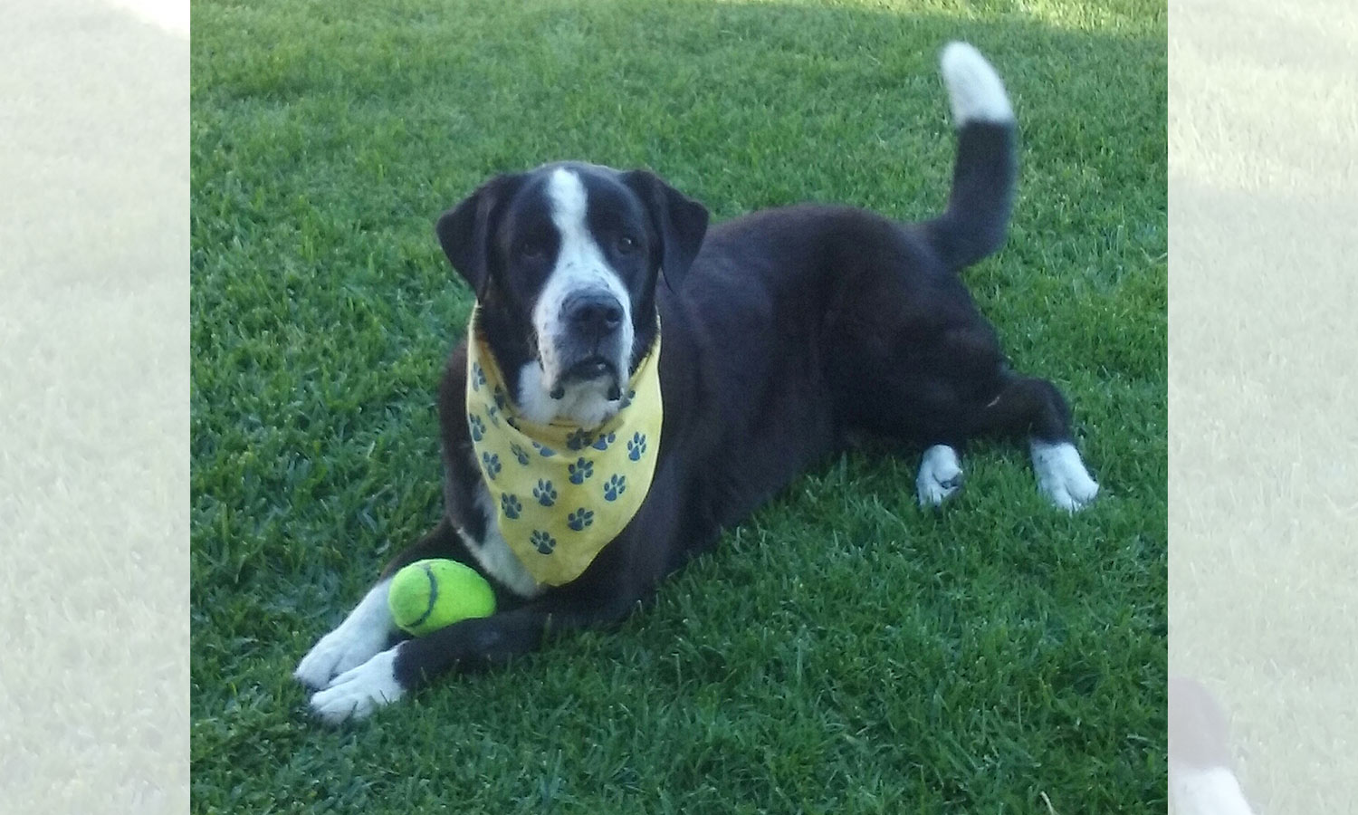 Meet Jackson, Melinda B.'s new furry family member! She adopted him recently; he is 1/2 lab and 1/2 St. Bernard. He's a real sweetie, Melinda says, and Jackson is already a certified therapy dog.