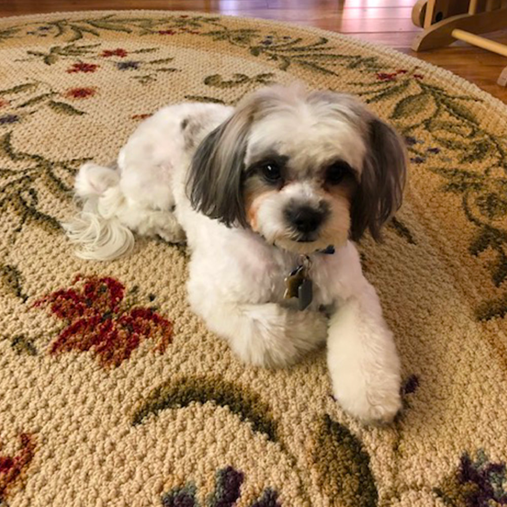 Meet Daisy. Twenty months old, Daisy's a non-shedding Maltese/Shih Tzu. She's as smart and as cute as she can be, and she believes everyone loves her. Everyone does! The neighbor gives Daisy treats, for a Sit and a handshake.