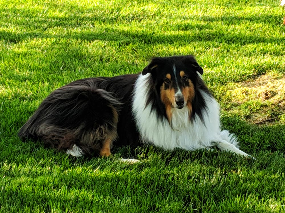 "Meet Colleen C.'s beautiful Rough Collie, her pride and joy, her sweetest boy, Bouchal (pronounced boo-kul). The word is Gaelic and it means ""boy"" (the word ""bucko"" is a derivative)."
