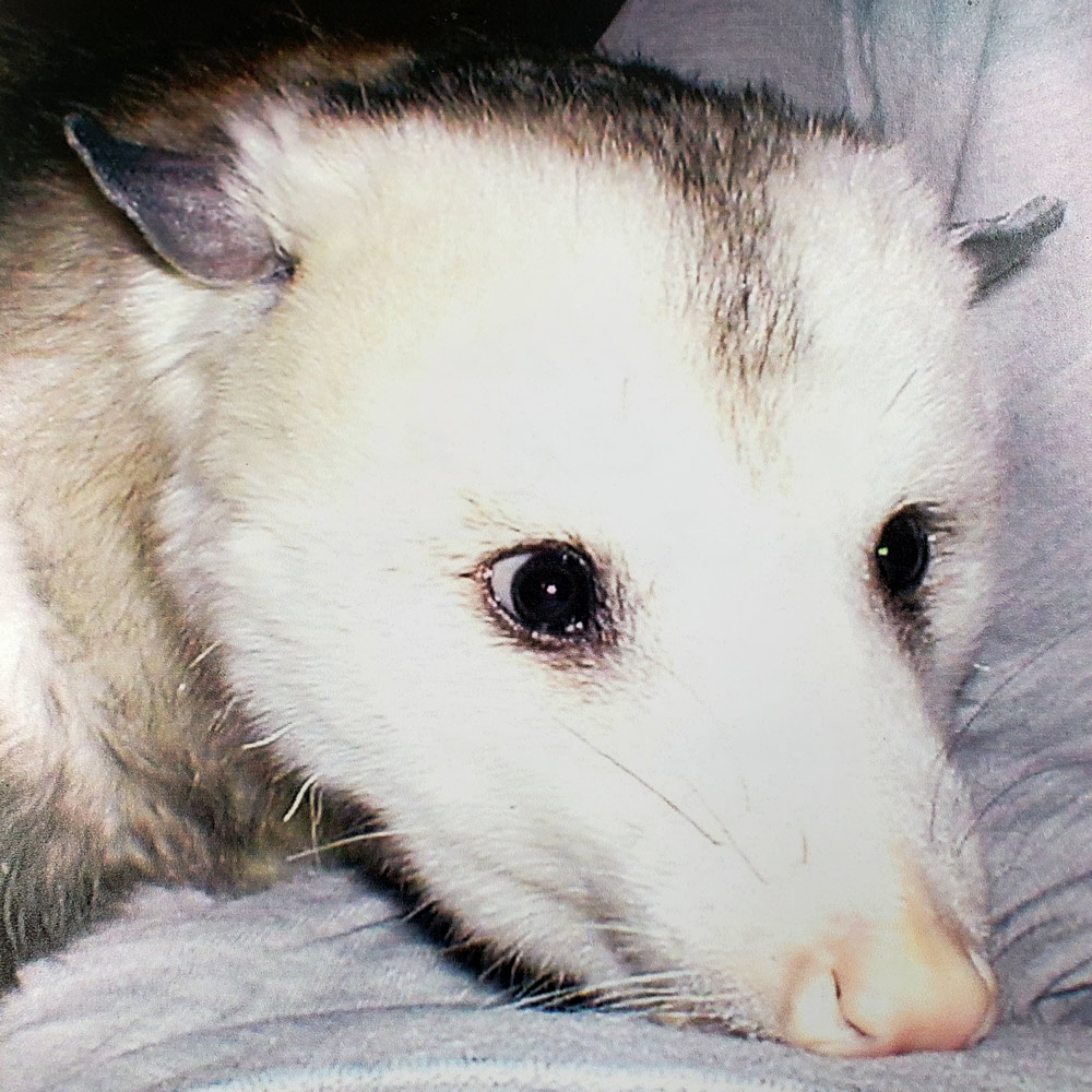 Grandma W. Sent a picture of Soupy, short for Marsupial. She'd raised him from a baby after the veterinarian advised Soupy couldn't survive on his own.